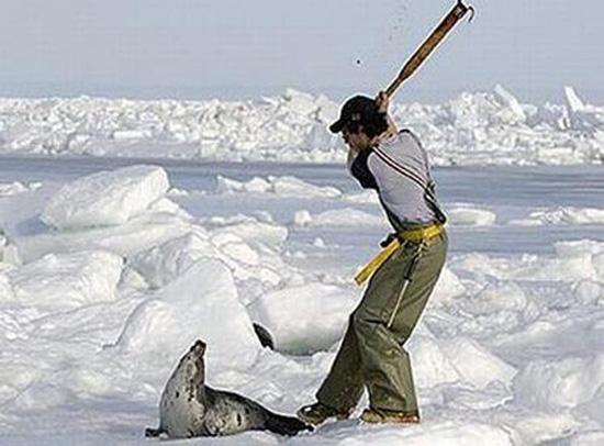 Massacro-delle-foche.-Foto-2011