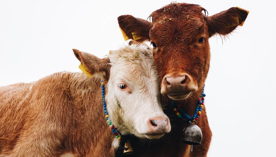 adotta-una-mucca